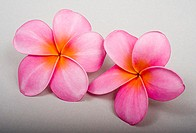Studio shot of two pink plumerias on white background