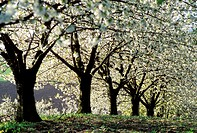 France, cherry trees, spring