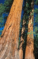 Giant Sequoia, Mariposa Grove, Yosemite NP, California