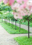 Landscaping, row of fruit trees in flower