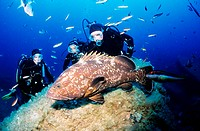 France, Corse-du-Sud (2A), divers and brown grouper (72 feet)