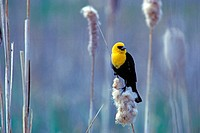 Yellow-headed Blackbird (Xanthocephalus xanthocephalus), taken in freshwater marsh in Klamath Falls, Oregon, USA