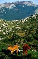Cows at Candina massif. Cantabria, Spain