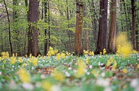Oxlip (Primula elatior) in spring forest. Hainich National Park, Thueringen, Germany