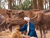 africa, morocco, zagora, dromedary