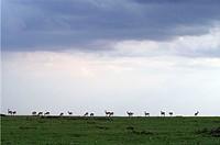 africa, kenya, masai mara national reserve, impala