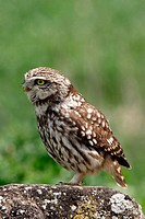 Little Owl (Athene noctua)