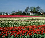 tulip, tulips, growing, in, row, rows, a, Dutch, bulb, field, field, bulbs, Holland, Netherlands, Holland, Europe, the