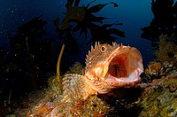 Northern scorpionfish (Scorpaena cardinalis) yawning. Middle Arch. Poor Knights Islands. New Zealand. South Pacific Ocean