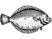 A black and white drawing of a flounder (thumbnail)