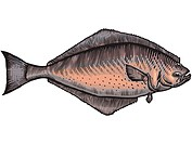 A drawing of a halibut (thumbnail)