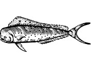 A black and white drawing of a mahi mahi