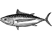 A black and white drawing of an albacore tuna