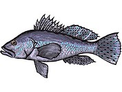 A drawing of a sea bass