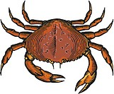 A drawing of a dungeoness crab