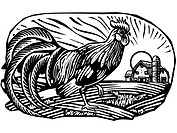 Rooster with barn in the background, black and white