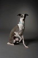Dog sitting with one leg up