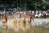 Oxen Race Post Harvest Sporting , India