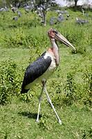 Marabou stork (Leptoptilos crumeniferus).