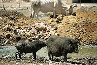 Pig and Young kid