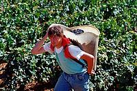 Man, harvesting, vine, Cote, d´Or, Burgundy, France