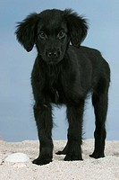 Flat, Coated, Retriever,, puppy,, 12, weeks,