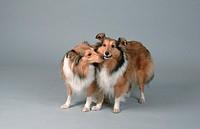 Shetland, Sheepdogs,, pair,, Sheltie