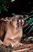 Florida, Panther, Felis, concolor, coryi