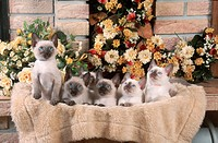 Classic, Siamese, Cats,, kittens,, 9, weeks