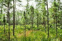 Florida Scrub Oak habitat, home to the endangered Florida Scrub Jay and Gopher Tortoise.