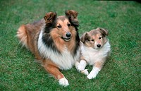 Sheltie, bitch, with, puppy,, 7, weeks,, Shetland, Sheepdog