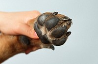 German, Shepherd, Dog,, balls, of, foot,, Alsatian