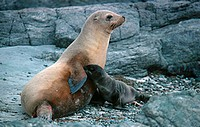 California sea lion (Zalophus californianus) cow nursing her pup on San Benitos Island, Mexico.