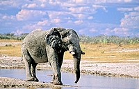 African Elephant (Loxodonta africana) in Etosha National Park, Namibia. It is classified as Vulnerable by IUCN.