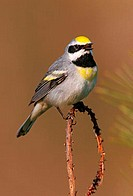 A golden-winged warbler (Vermivora chrysoptera).
