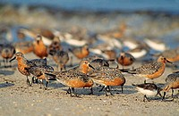 A group of red knots (Calidris canutus), medium sized shorebirds, on Reeds Beach, New Jersey.