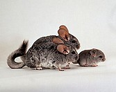 Long-tailed, Chinchillas, pair, with, young, Chinchilla, lanigera