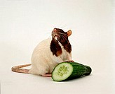Domestic, Rat, with, cucumber