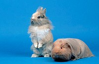 Young, Lion-maned, Dwarf, Rabbit, and, Sheltie, Guinea, Pig