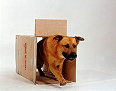 Mixed, Breed, Dog, walking, through, cartboard, box