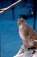 European, Lynx,, Lynx, lynx