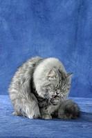 Persian, Cat,, silver-tabby