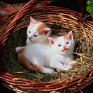 Domestic, Cats, kittens, in, basket