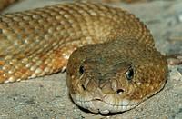 Basilisk, Rattlesnake, Crotalus, basiliscus, Basiliskenklapperschlange, Mexican, West-coast, Rattlesnake