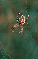 Cross, Orbweaver, in, web, with, dew, drops, North, Rhine-Westphalia, Germany, Araneus, diadematus, European, Garden, Spider