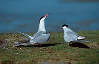 Common, Terns,, pair,, courtship, display,, Texel,, Netherlands,,, Sterna, hirundo