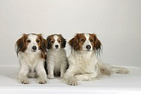 Small, Dutch, Waterfowl, Dogs,, pair, with, puppy,, Kooikerhondje