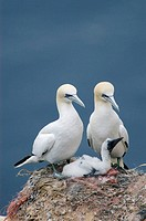 Northern, Gannets, with, chick, Helgoland, Schleswig-Holstein, Germany, Morus, bassanus, Sula, bassana
