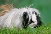 Peruvian, Guinea, Pig