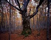 Tree in autumnal forest